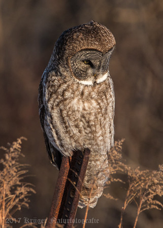 Great Gray Owl-1817