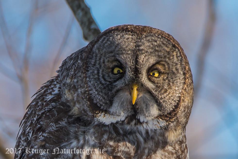 Great Gray Owl-1686
