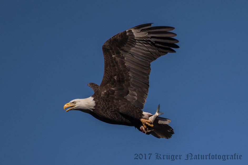 Bald Eagle-4371