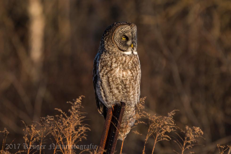 Great Gray Owl-1816