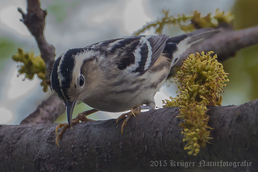Black-and-white Warbler-9972