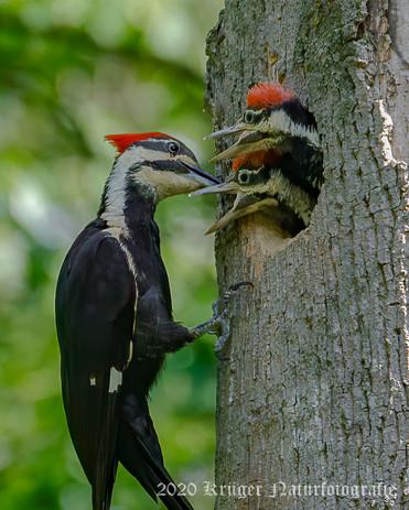 Pileated Woodpecker-3704