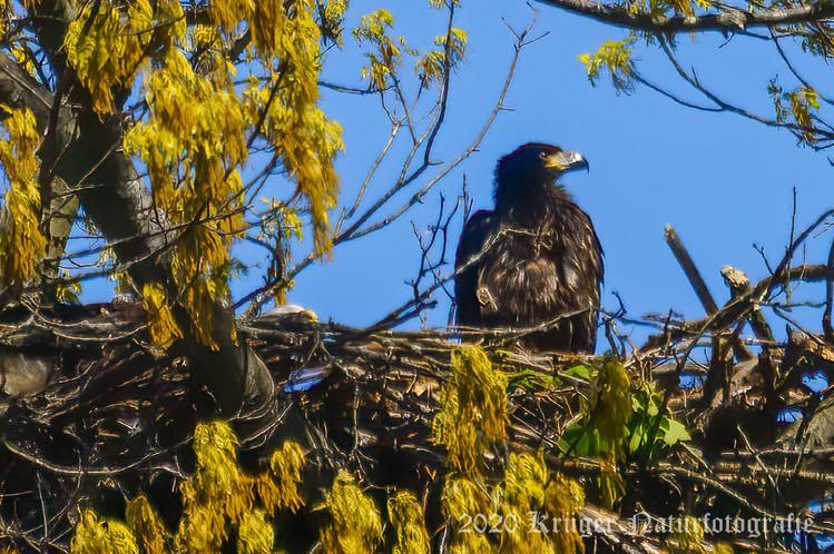 Bald Eagle-1157