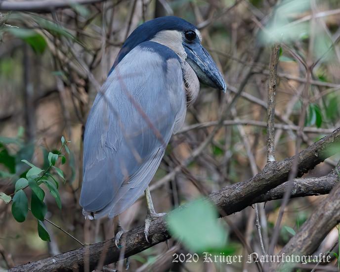 Boat-billed Heron-2783