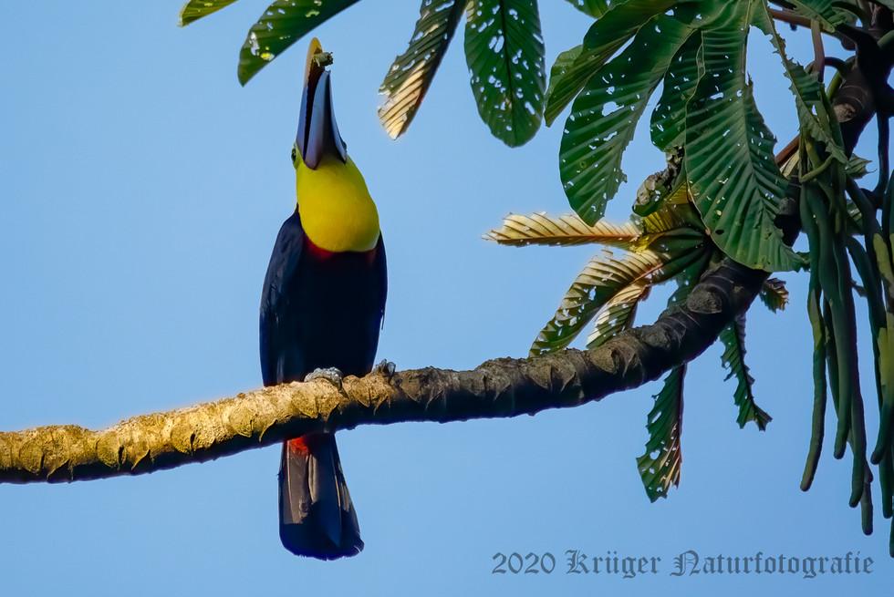 Yellow-throated Toucan-1614
