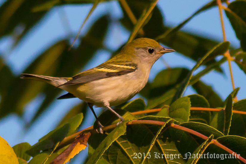 Chestnut-sided Warbler-3234