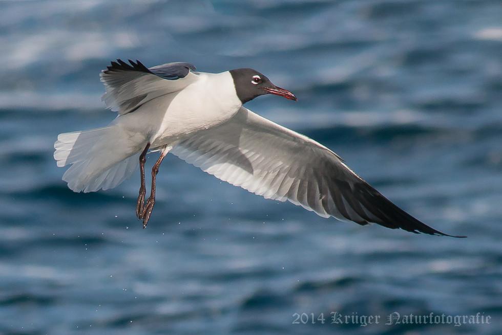 Laughing Gull-