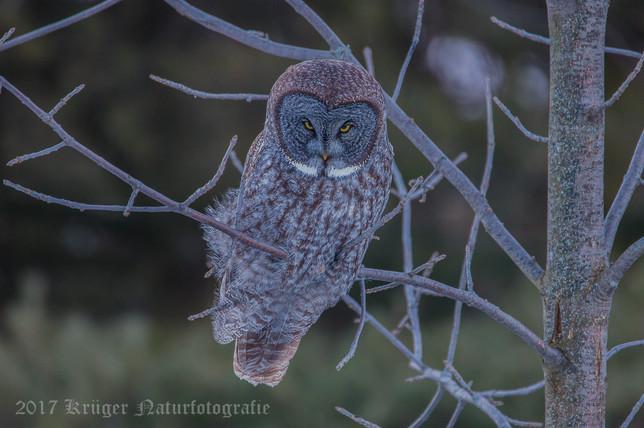 X-Great Gray Owl-1783