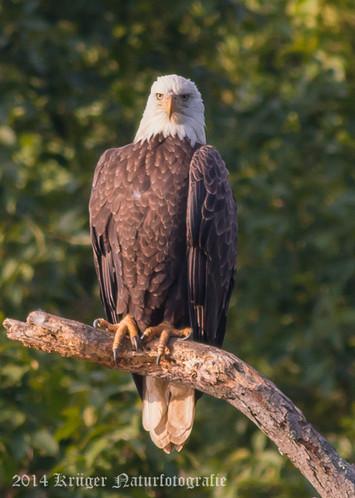 Bald Eagle-7871