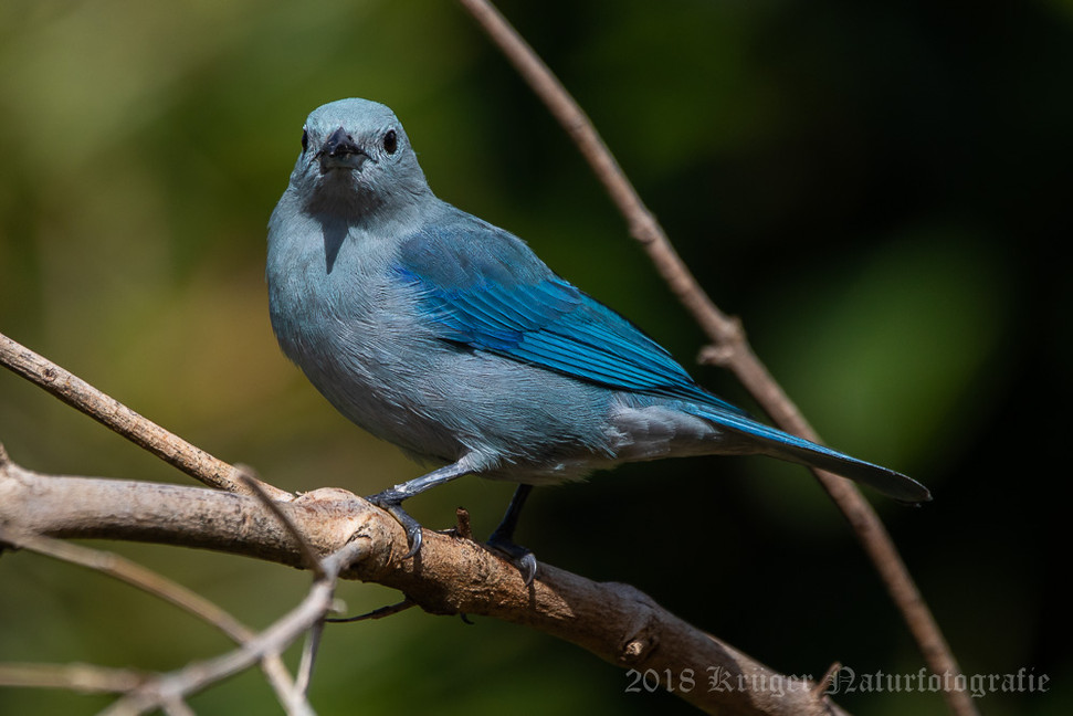 Blue-gray Tanager-5746