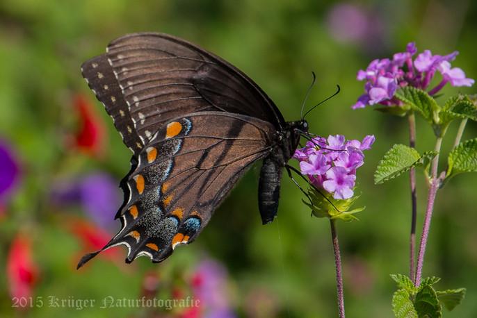 Black Swallowtail-3311