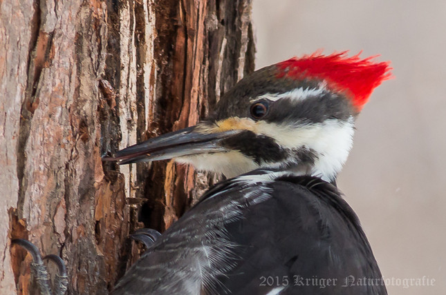 Pileated Woodpecker-0842