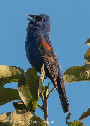 Blue Grosbeak-2191