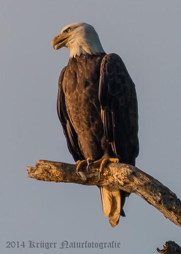 Bald Eagle-7951