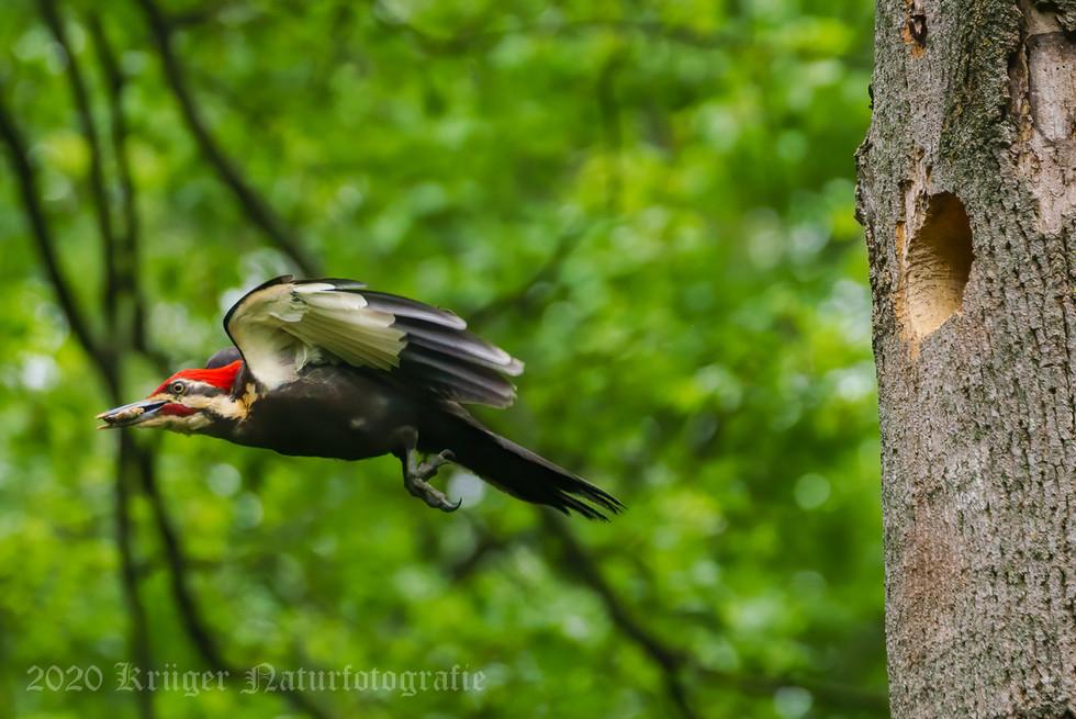 Pileated Woodpecker-3200