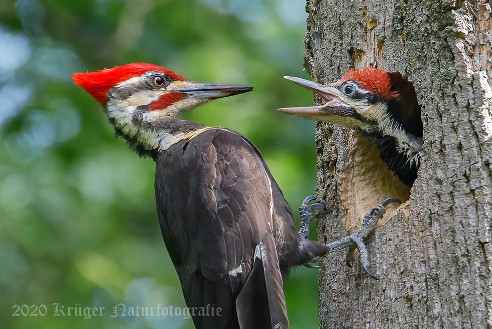 Pileated Woodpecker-3730