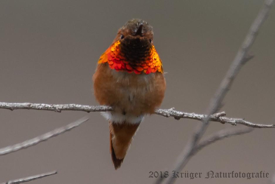 Allen's Hummingbird-6447