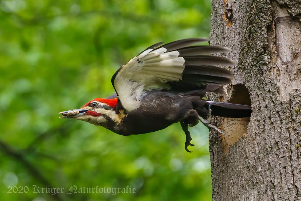 Pileated Woodpecker-3199