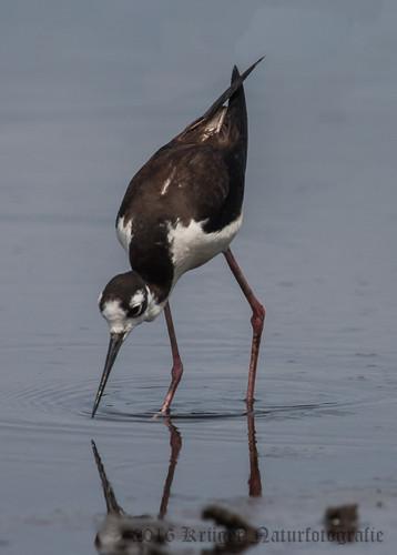 Black-necked Stilt-6969