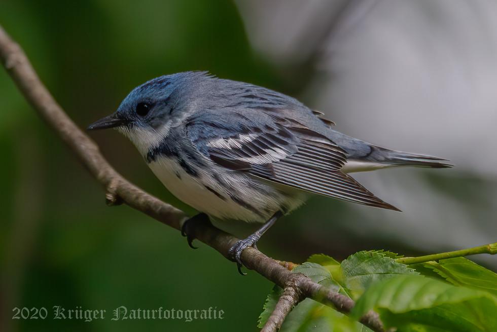 Cerulean Warbler-3853