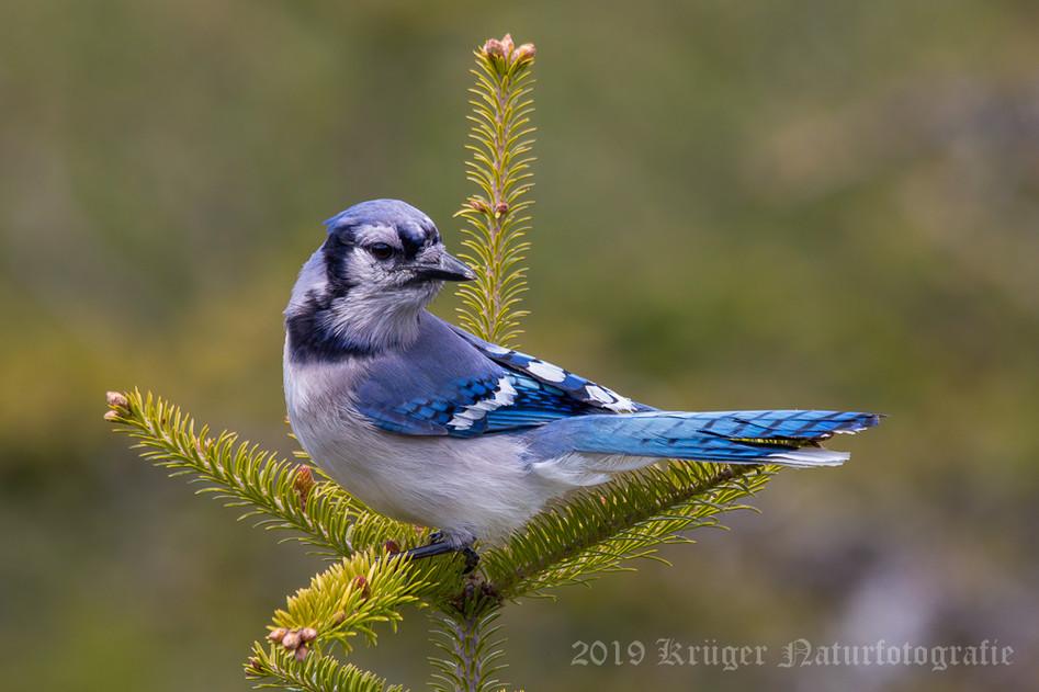 Blue Jay-0075