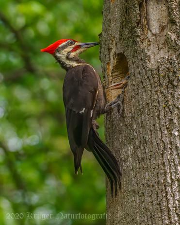 Pileated Woodpecker-3226