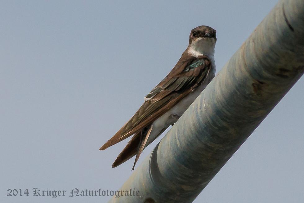Bank Swallow-7041