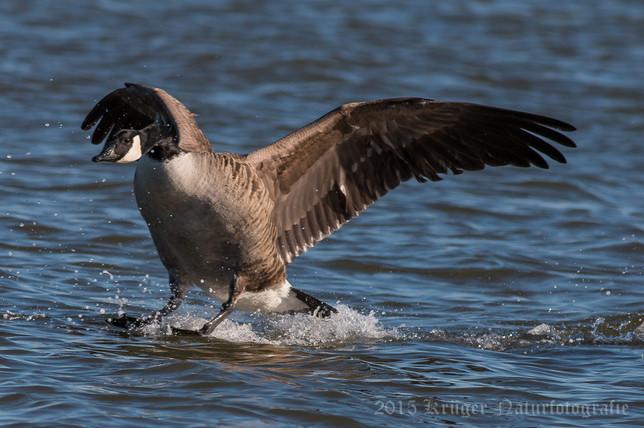 Canada Goose-1099