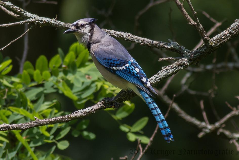 Blue Jay-5231