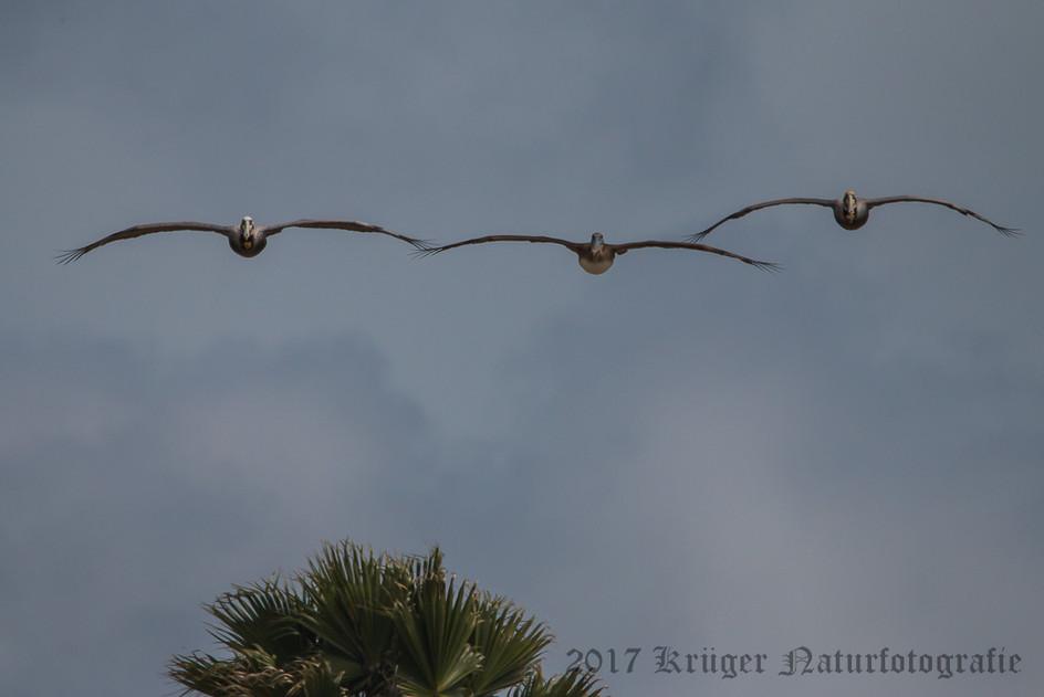 Brown Pelican-3954