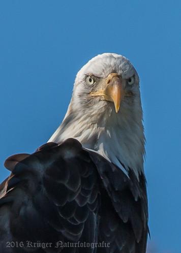Bald Eagle-9778