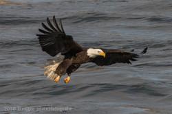 Series 1 - Bald Eagle-0579