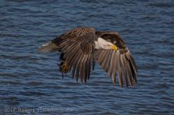 Series 2 - Bald Eagle-4233