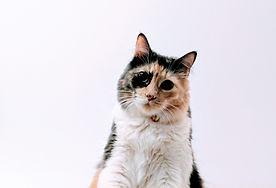 Flerfarget katt