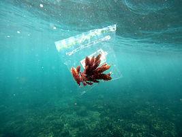 Aspargopsis subtidal plastic bag.jpg
