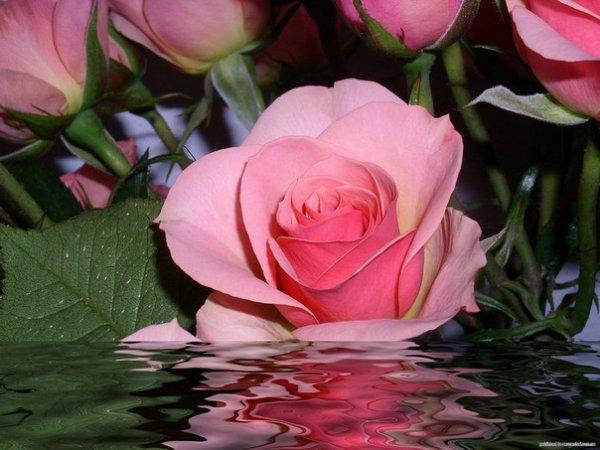 Масло розы и экстракт