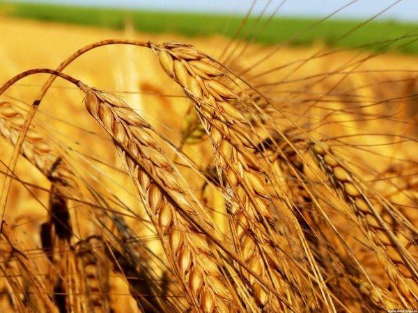 Масло из ростков пшеницы