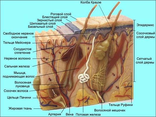 Строение кожи, базовый семинар Deesse, обучение применению современных косметических средств по уходу за кожей лица и тела