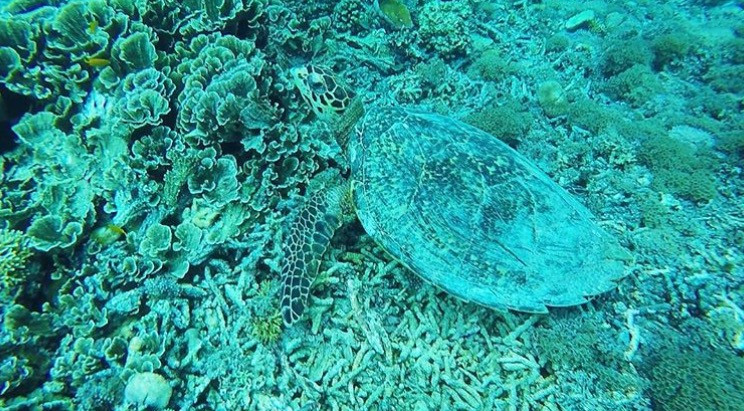 A picture of a sea turtle near the ocean floor that is littered with dead coral