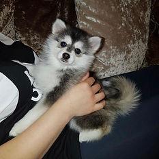 Teacup Pomsky Puppies For Sale | American Pomskys