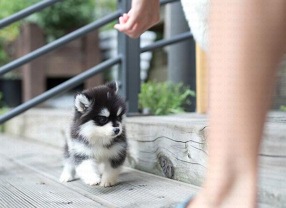 Teacup Pomsky Puppies For Sale | American Pomskys Vince_Pomsky_M4.jpg