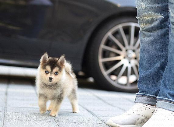 Teacup Pomsky Puppies For Sale | American Pomskys Daisy_Pomsky_F3.jpg