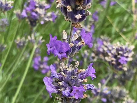Foaming Lavender