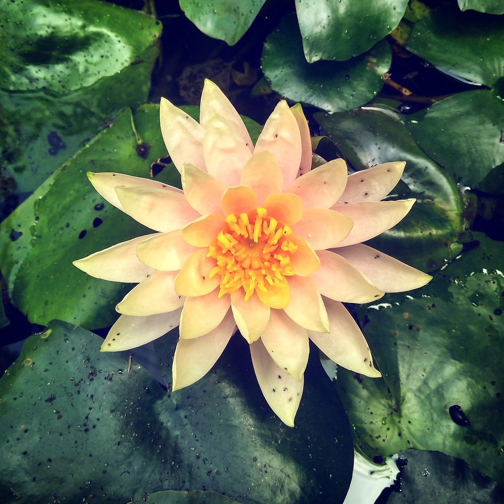 white water lily in an artificial pond