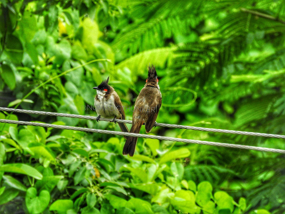 Two red whiskered bulbuls facing each other