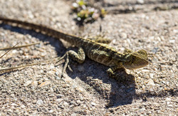 Eastern Water Dragon 01