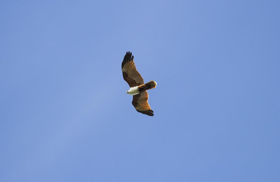 Brahminy Kite 01
