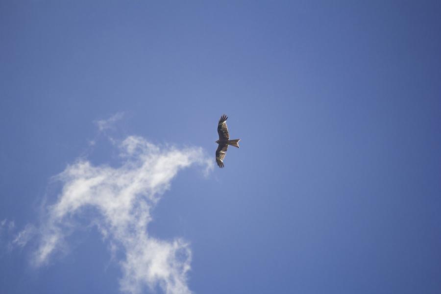 Red Kite 01