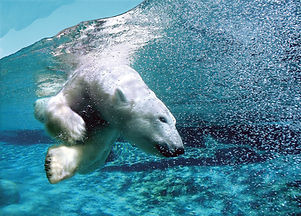 Polar Bears swimming in Quebec