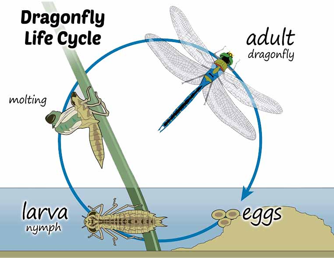 Images Of A Dragonfly Life Cycle - impremedia.net